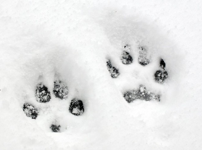Dog Toe Impressions in Snow